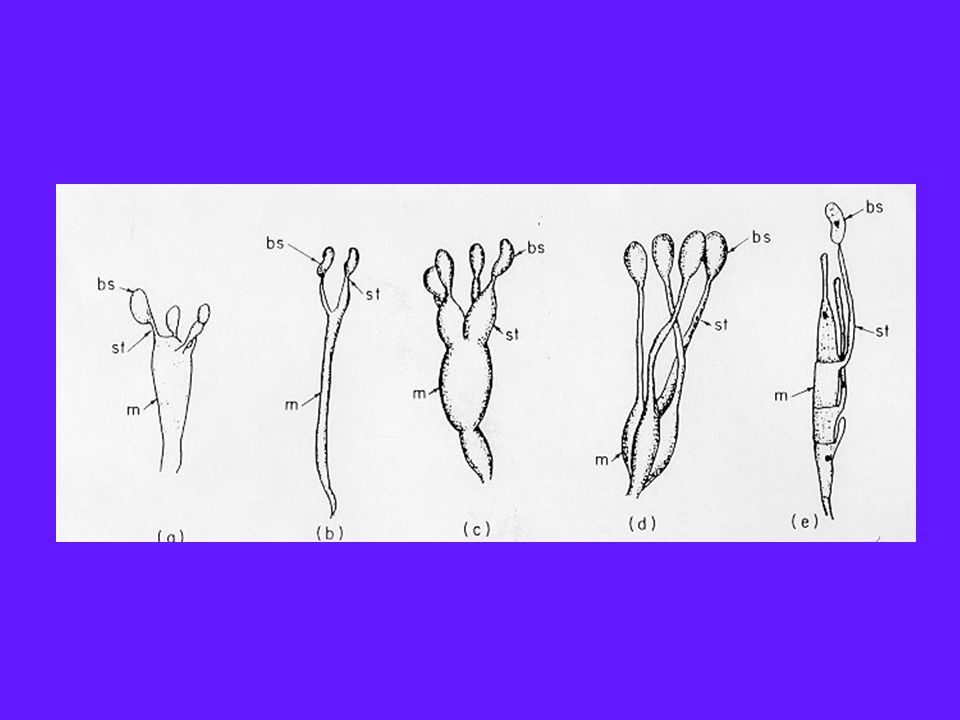Order Auriculariales Largest order, 6 families and 30 genera Most members are saprotrophs, grow on dead wood Phragmobasidia of two types; sterigmata are hyphal like; basidiospores become septate, may germinate indirectly via conidia – Transversely septate (Auricularia) – Cruciately septate (Exidia, Phlogiotis, Pseudohydnum)