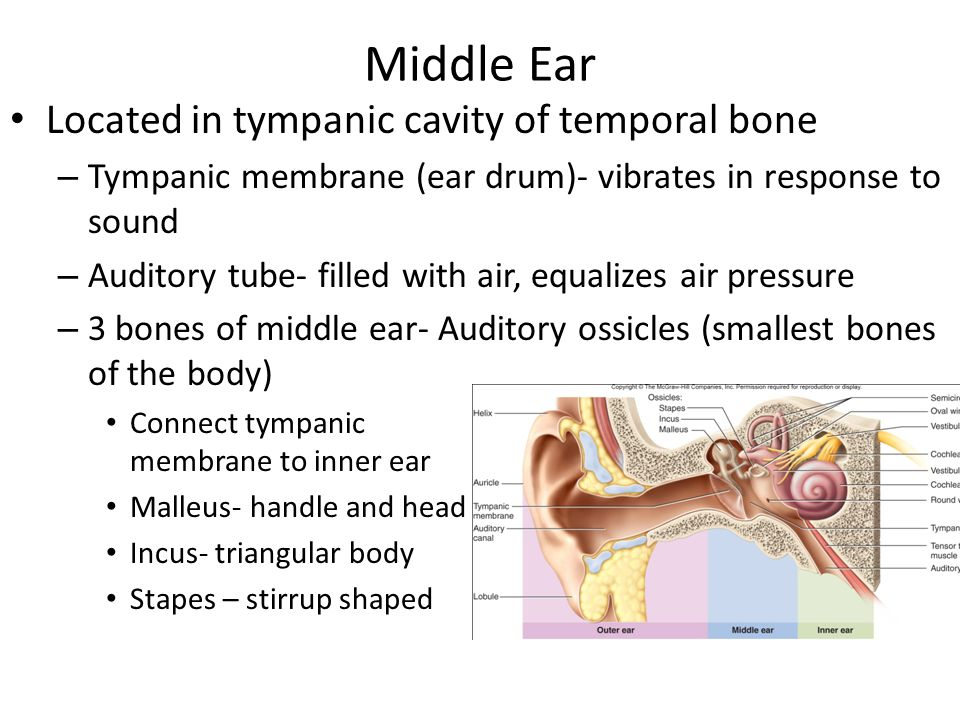Middle Ear Located in tympanic cavity of temporal bone – Tympanic membrane (ear drum)- vibrates in response to sound – Auditory tube- filled with air,