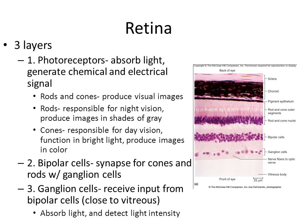 Retina 3 layers – 1. Photoreceptors- absorb light, generate chemical and electrical signal Rods and cones- produce visual images Rods- responsible for