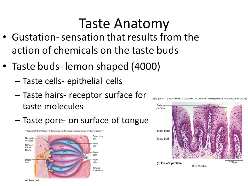 Taste Anatomy Gustation- sensation that results from the action of chemicals on the taste buds Taste buds- lemon shaped (4000) – Taste cells- epitheli