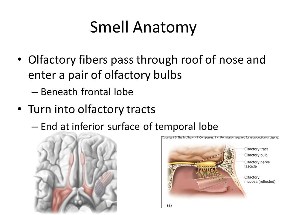 Smell Anatomy Olfactory fibers pass through roof of nose and enter a pair of olfactory bulbs – Beneath frontal lobe Turn into olfactory tracts – End a