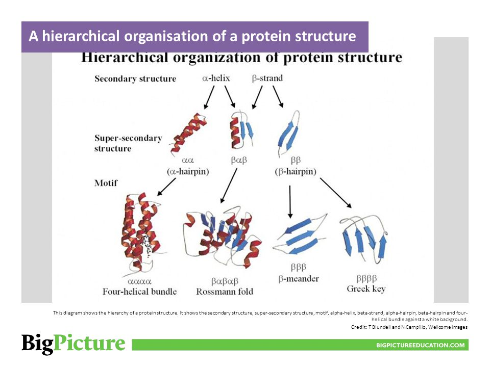 This diagram shows the hierarchy of a protein structure. It shows the secondary structure, super-secondary structure, motif, alpha-helix, beta-strand,