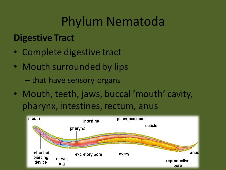 Phylum Nematoda Digestive Tract Complete digestive tract Mouth surrounded by lips – that have sensory organs Mouth, teeth, jaws, buccal 'mouth' cavity, pharynx, intestines, rectum, anus