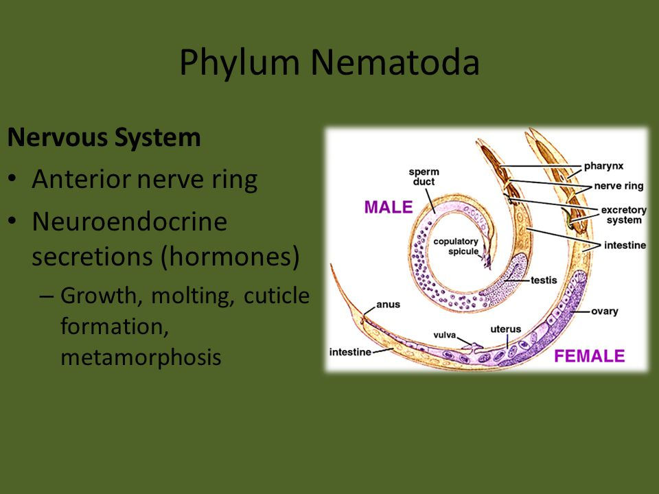 Phylum Nematoda Nervous System Anterior nerve ring Neuroendocrine secretions (hormones) – Growth, molting, cuticle formation, metamorphosis
