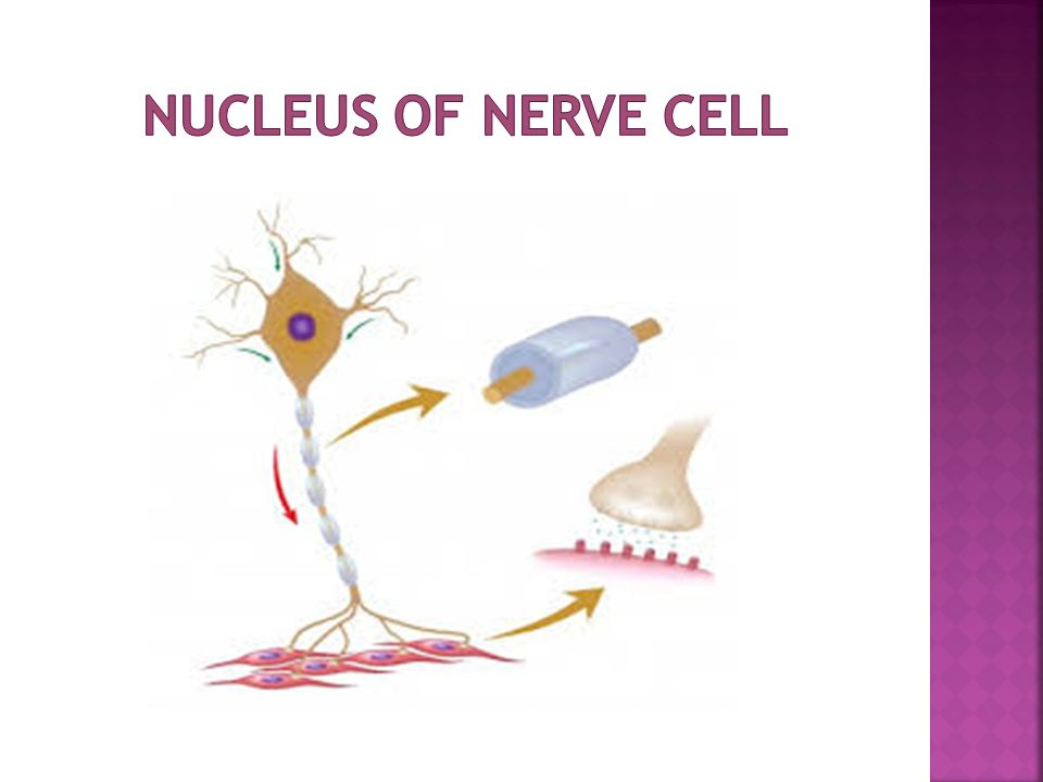  Nucleus is surrounded by double unit membrane called nuclear envelope  Nuclear envelope is perforated by nuclear pores.