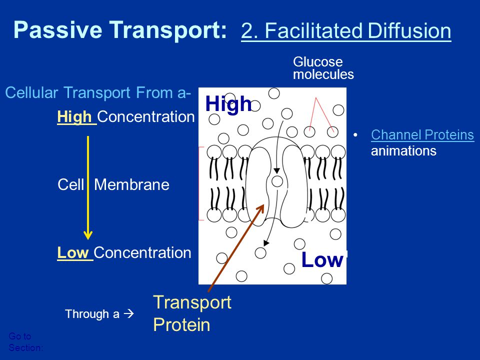 High Concentration Low Concentration Cell Membrane Glucose molecules Protein channel Passive Transport: 2. Facilitated Diffusion Go to Section: Transp