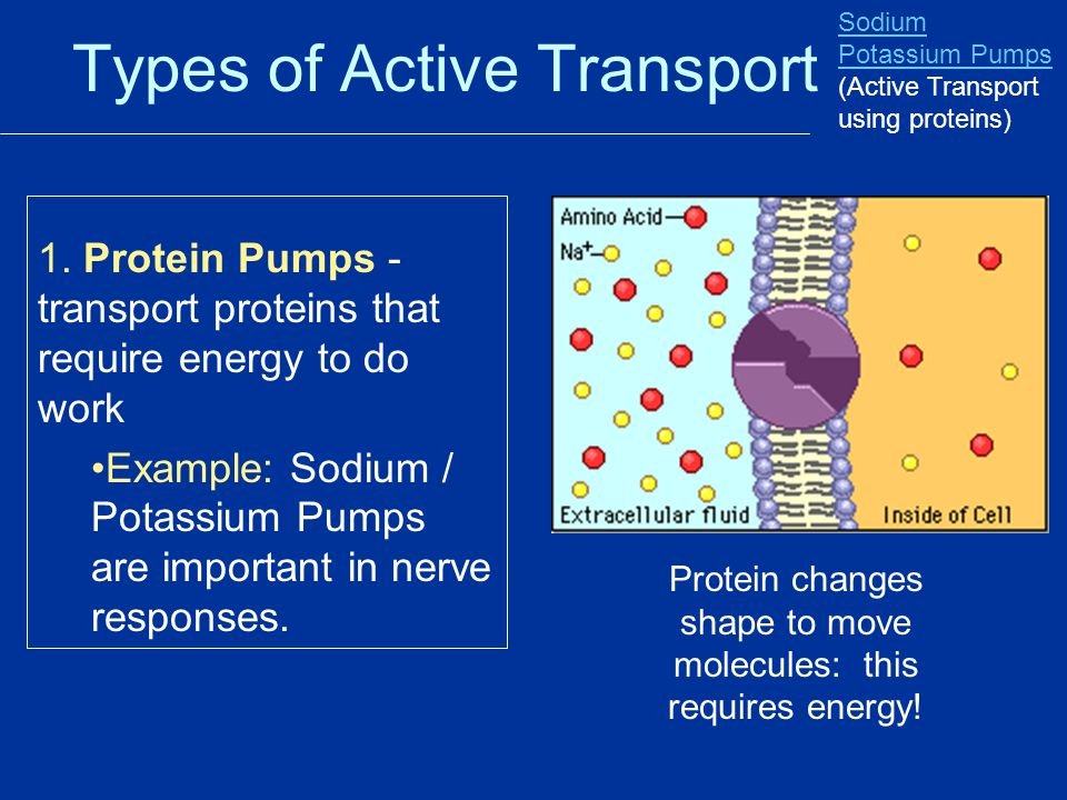 Types of Active Transport 1. Protein Pumps - transport proteins that require energy to do work Example: Sodium / Potassium Pumps are important in nerv