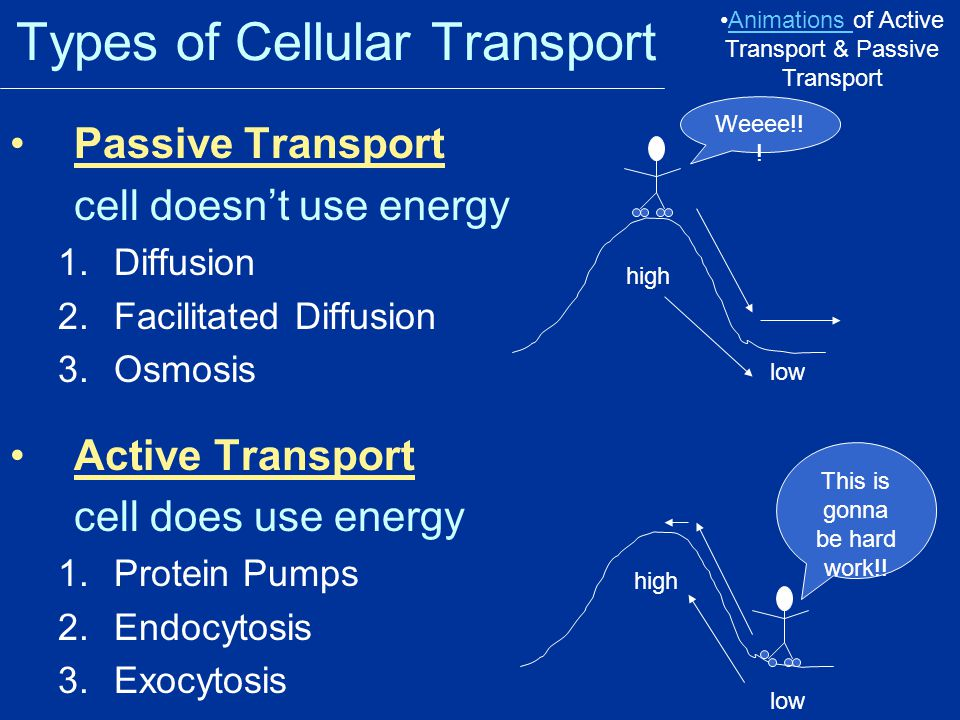 Effects of Osmosis on Life Osmosis- diffusion of water through a selectively permeable membrane Water is so small and there is so much of it the cell can't control it's movement through the cell membrane.