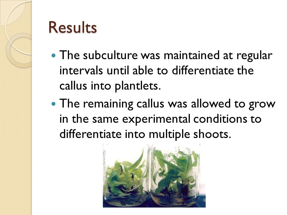 Results The subculture was maintained at regular intervals until able to differentiate the callus into plantlets.