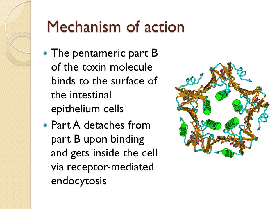 Mechanism of action The pentameric part B of the toxin molecule binds to the surface of the intestinal epithelium cells Part A detaches from part B upon binding and gets inside the cell via receptor-mediated endocytosis