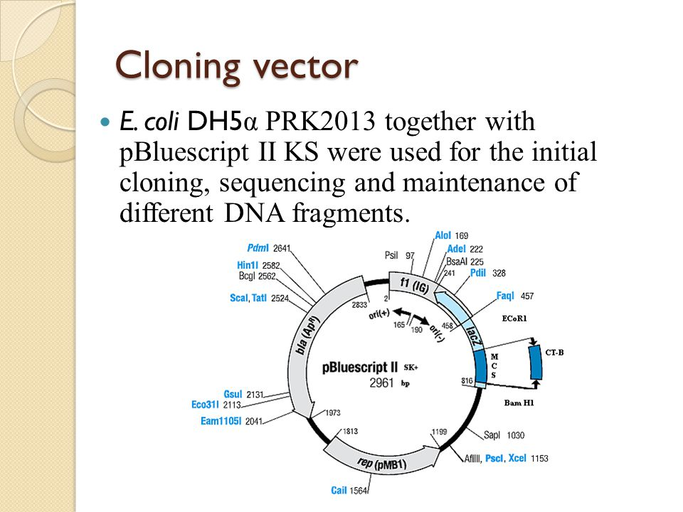 Cloning vector E. coli DH5 α PRK2013 together with pBluescript II KS were used for the initial cloning, sequencing and maintenance of different DNA fr