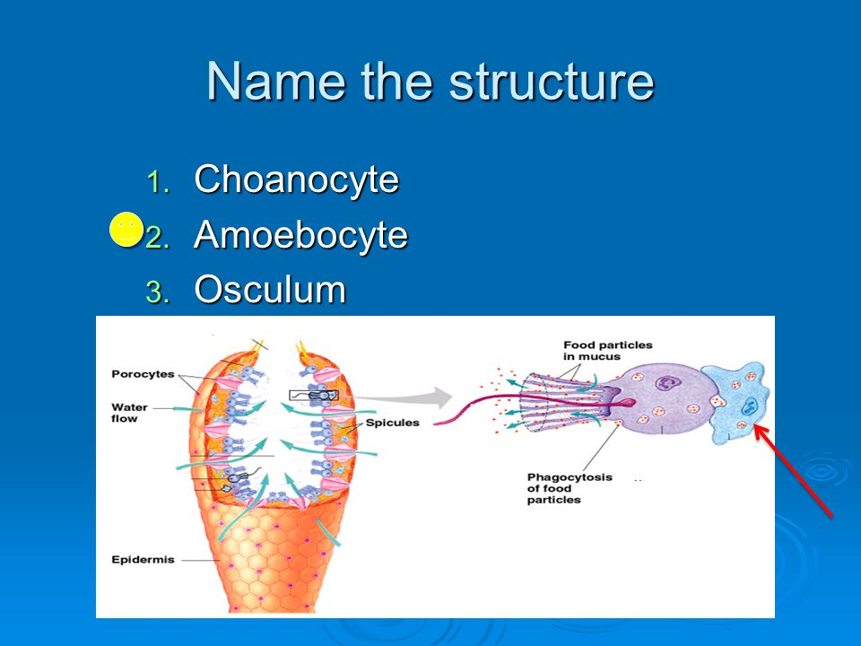 Name the structure 1. Choanocyte 2. Amoebocyte 3. Osculum