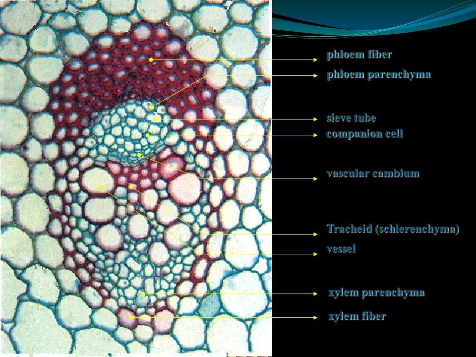 xylem phloemvessel vessel air space companion cell sieve tube bundle sheath Cross section of a monocot stem vascular bundle