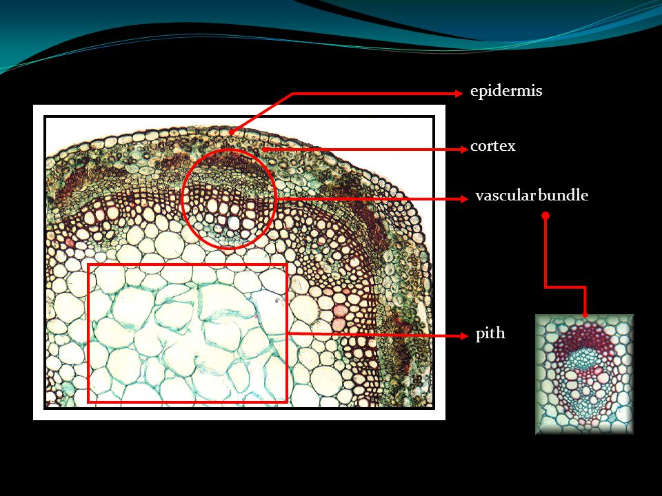 Different Kinds of Simple Permanent Tissues Epidermis External tissue consists of single layer of living cells Serves as outermost tissue of leaves, y