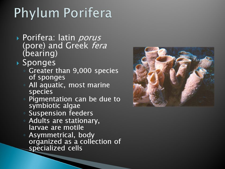  Porifera: latin porus (pore) and Greek fera (bearing)  Sponges ◦ Greater than 9,000 species of sponges ◦ All aquatic, most marine species ◦ Pigment