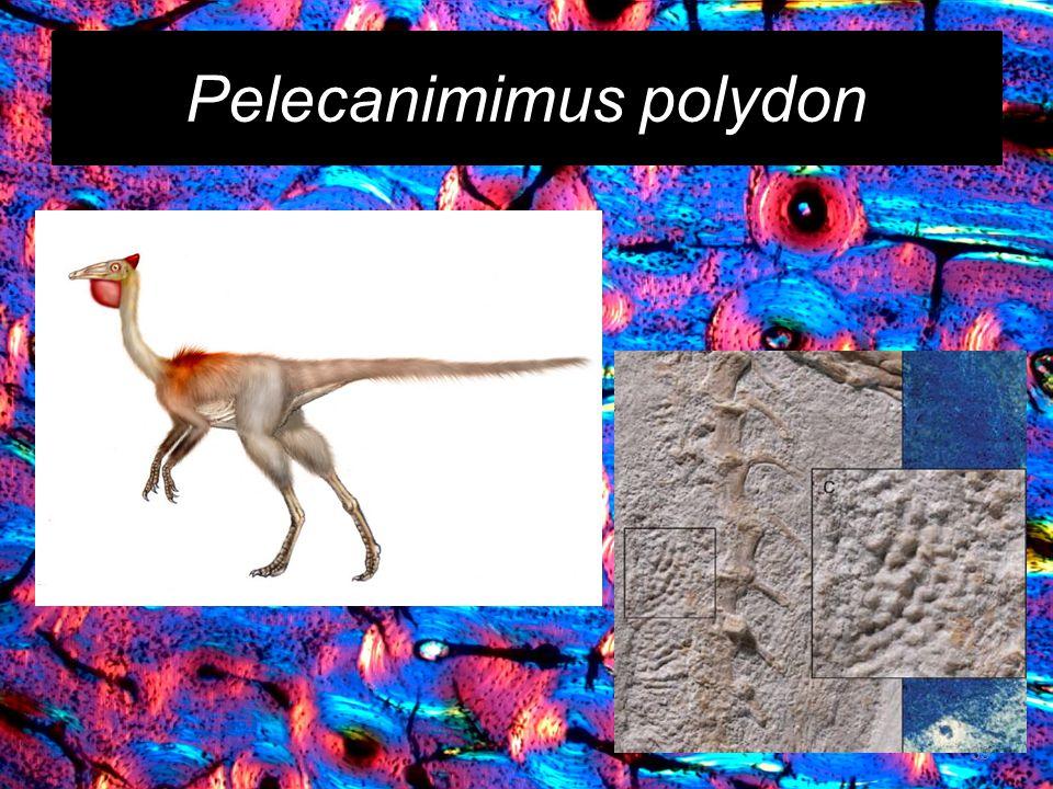Pelecanimimus polydon 39