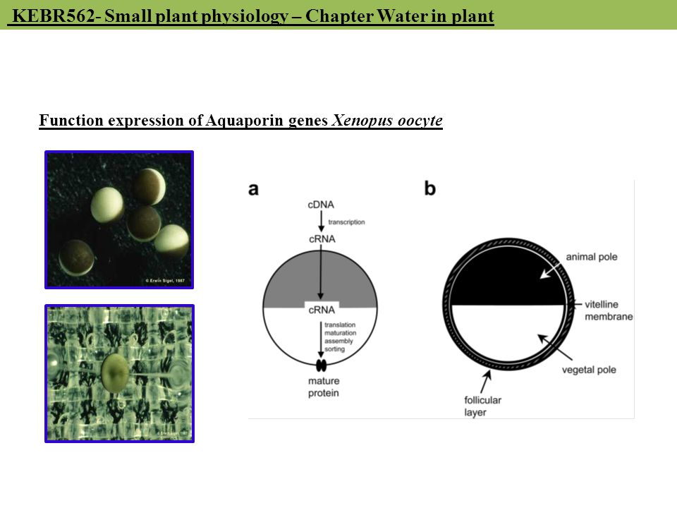 KEBR562- Small plant physiology – Chapter Water in plant Function expression of Aquaporin genes Xenopus oocyte