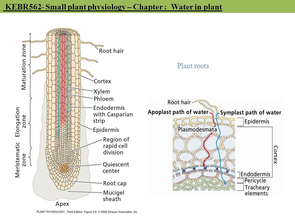 KEBR562- Small plant physiology – Chapter : Water in plant Plant roots