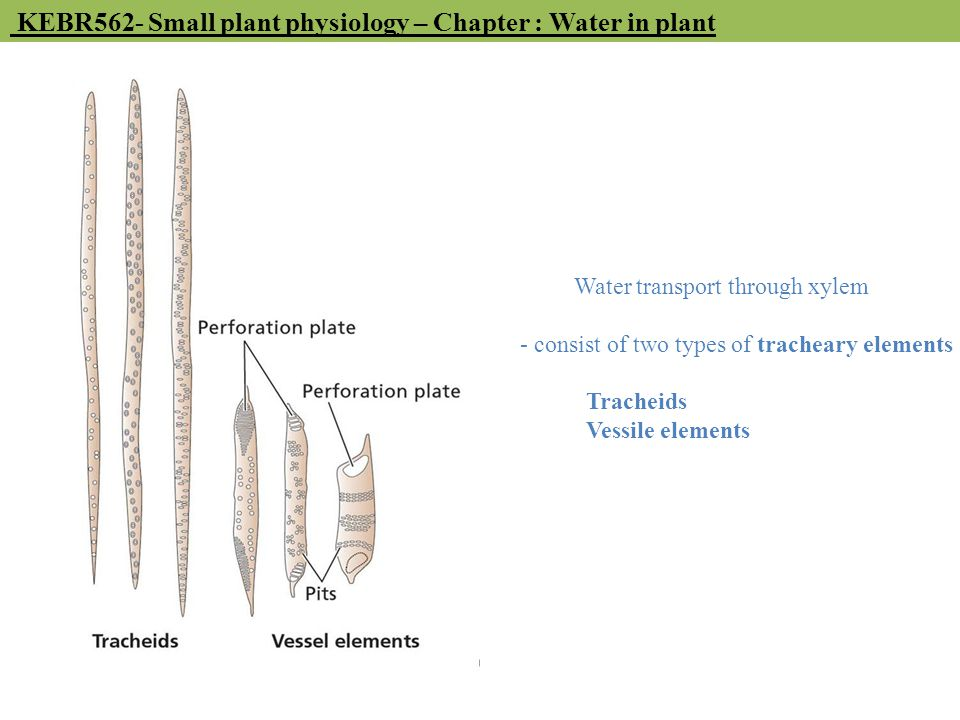 Water transport through xylem - consist of two types of tracheary elements Tracheids Vessile elements