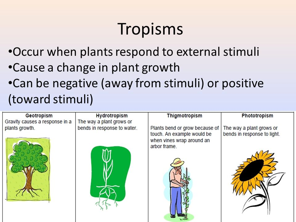 Tropisms Occur when plants respond to external stimuli Cause a change in plant growth Can be negative (away from stimuli) or positive (toward stimuli)
