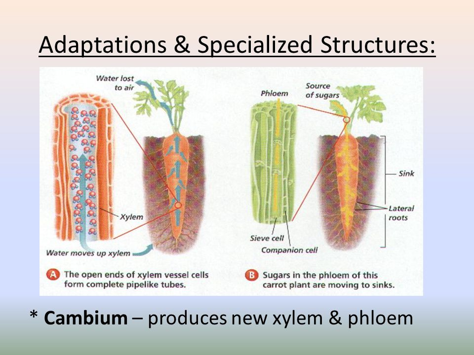 Adaptations & Specialized Structures: Cell Walls – rigid structure provide structural support for growth on land.