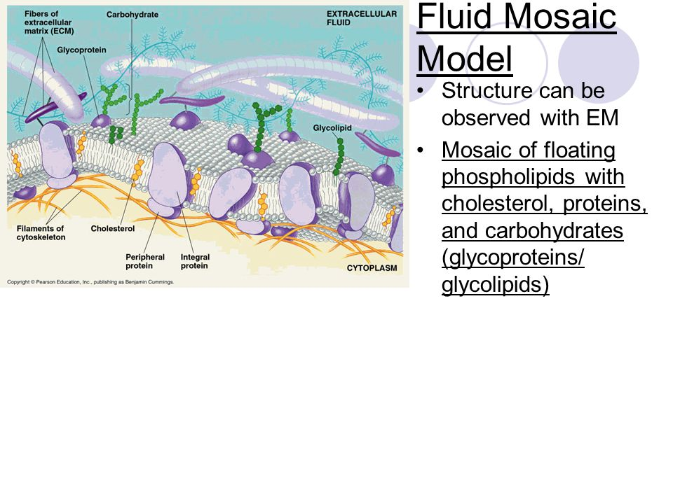 Fluid Mosaic Model Structure can be observed with EM Mosaic of floating phospholipids with cholesterol, proteins, and carbohydrates (glycoproteins/ glycolipids)