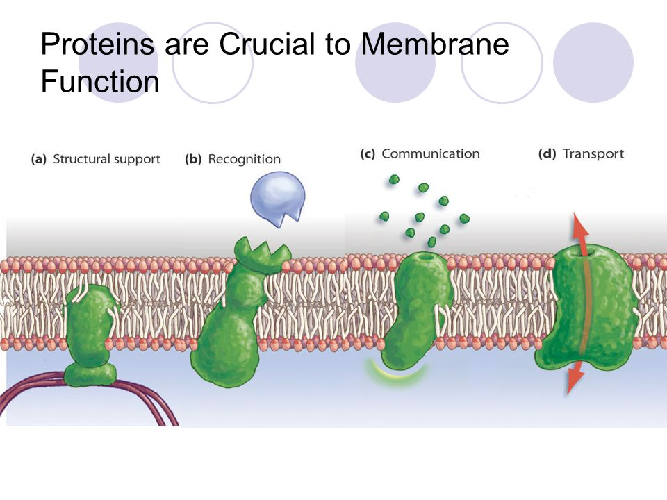 Proteins are Crucial to Membrane Function