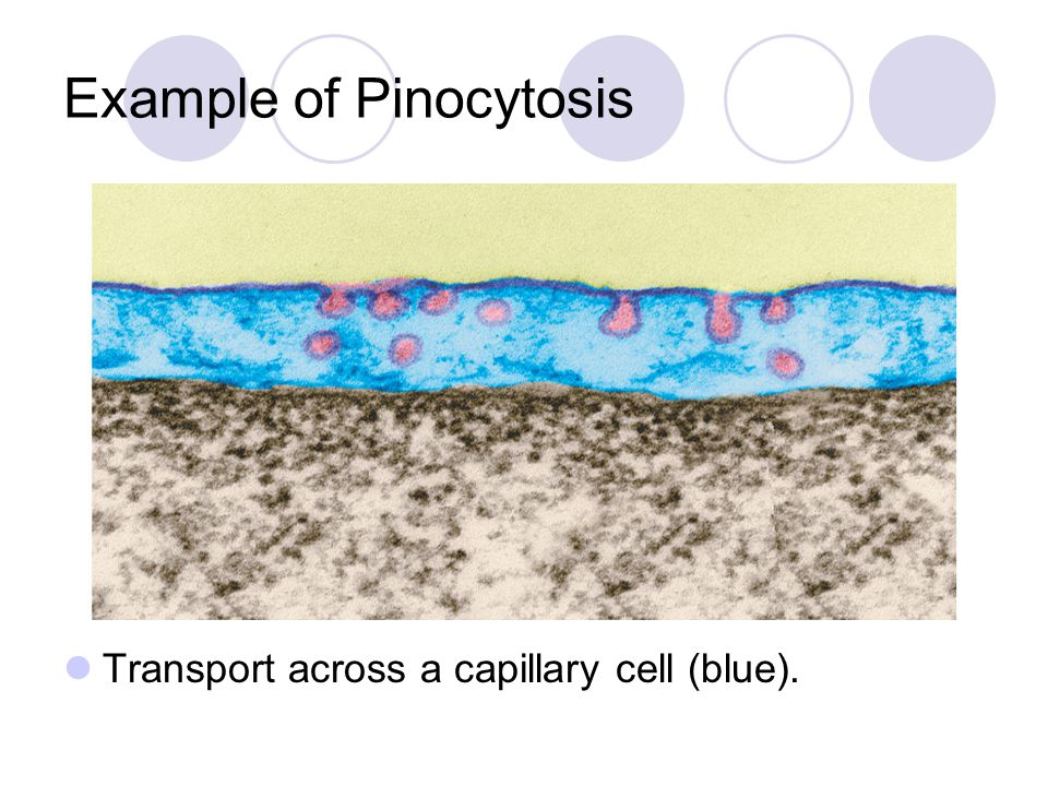 Example of Pinocytosis Transport across a capillary cell (blue).