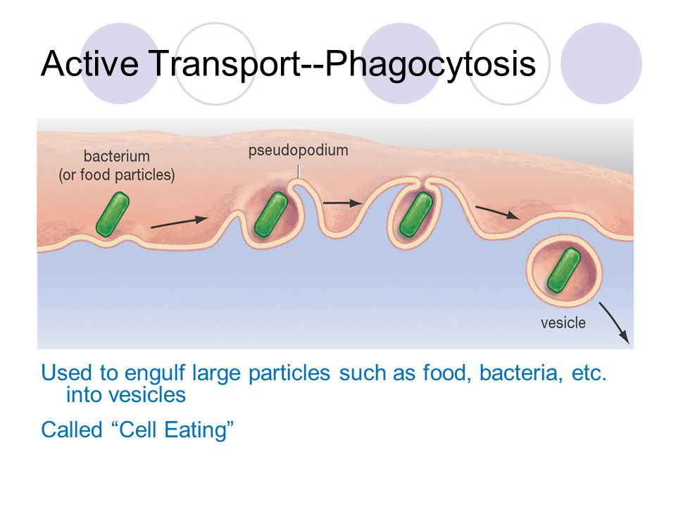 "Active Transport--Phagocytosis Used to engulf large particles such as food, bacteria, etc. into vesicles Called ""Cell Eating"""