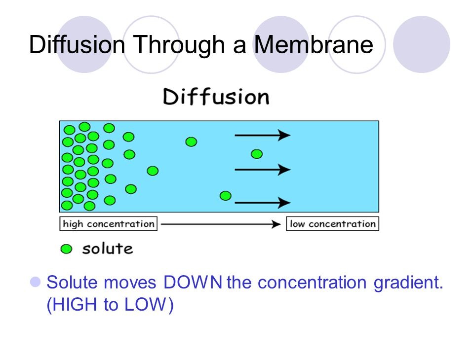 Diffusion Through a Membrane Solute moves DOWN the concentration gradient. (HIGH to LOW)