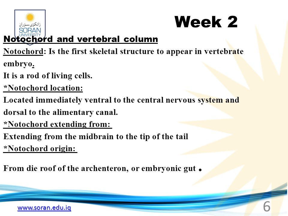 www.soran.edu.iq Week 2 Notochord and vertebral column Notochord: Is the first skeletal structure to appear in vertebrate embryo.
