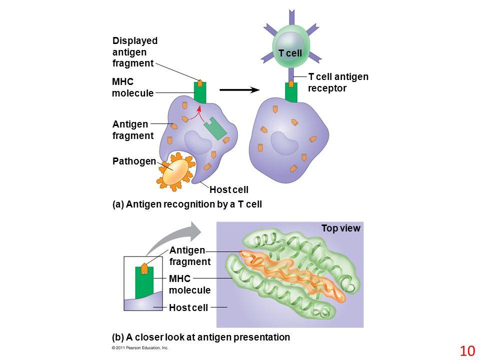 Displayed antigen fragment MHC molecule Antigen fragment Pathogen Host cell T cell T cell antigen receptor (a) Antigen recognition by a T cell (b) A closer look at antigen presentation Antigen fragment MHC molecule Host cell Top view 10