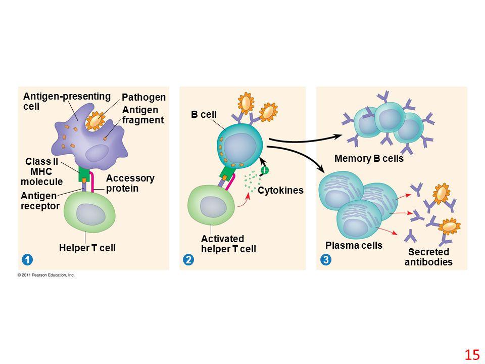 Pathogen 312 Antigen-presenting cell Antigen fragment Class II MHC molecule Antigen receptor Accessory protein Helper T cell B cell Cytokines Activated helper T cell Memory B cells Plasma cells Secreted antibodies  15