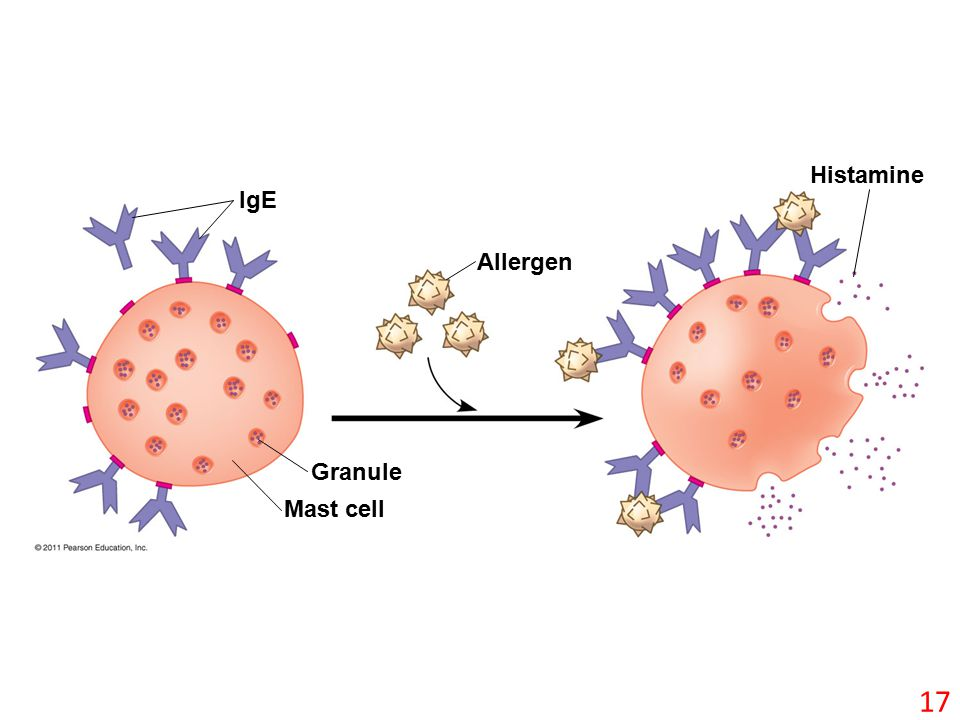 IgE Allergen Histamine Granule Mast cell 17