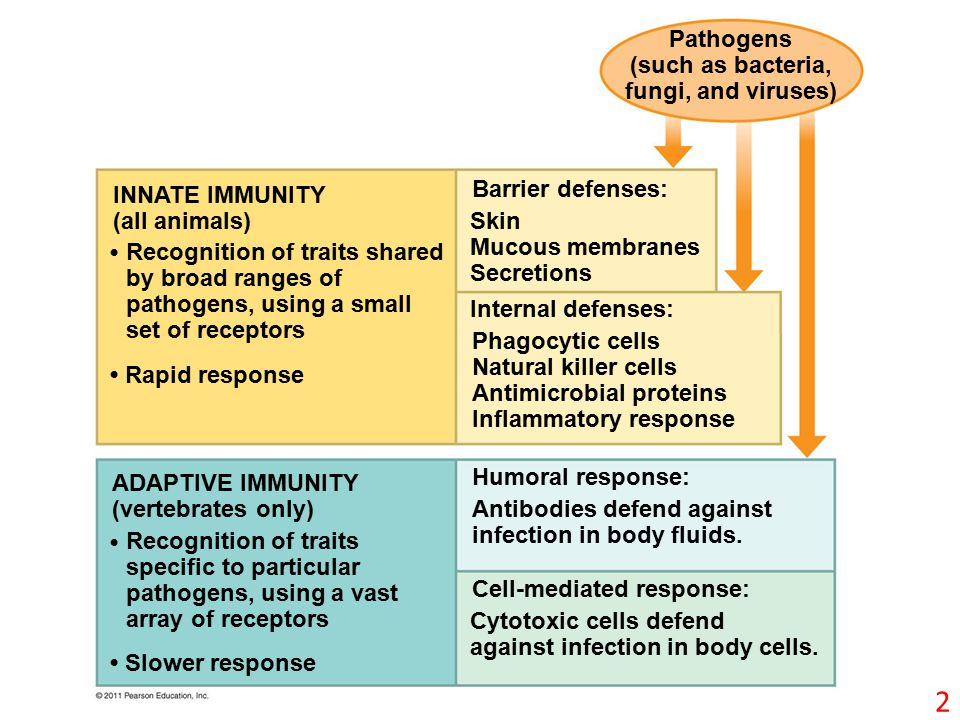 Pathogens (such as bacteria, fungi, and viruses) INNATE IMMUNITY (all animals) Rapid response Recognition of traits shared by broad ranges of pathogens, using a small set of receptors Recognition of traits specific to particular pathogens, using a vast array of receptors Slower response Barrier defenses: Skin Mucous membranes Secretions Internal defenses: Phagocytic cells Natural killer cells Antimicrobial proteins Inflammatory response Humoral response: Antibodies defend against infection in body fluids.