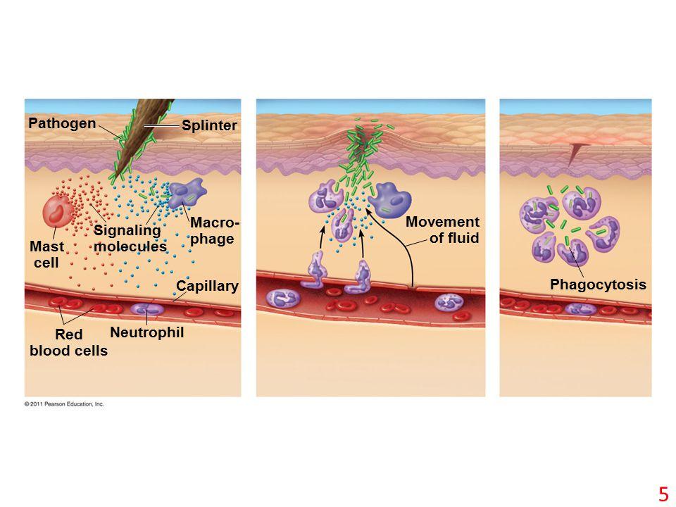 Pathogen Splinter Mast cell Macro- phage Capillary Red blood cells Neutrophil Signaling molecules Movement of fluid Phagocytosis 5