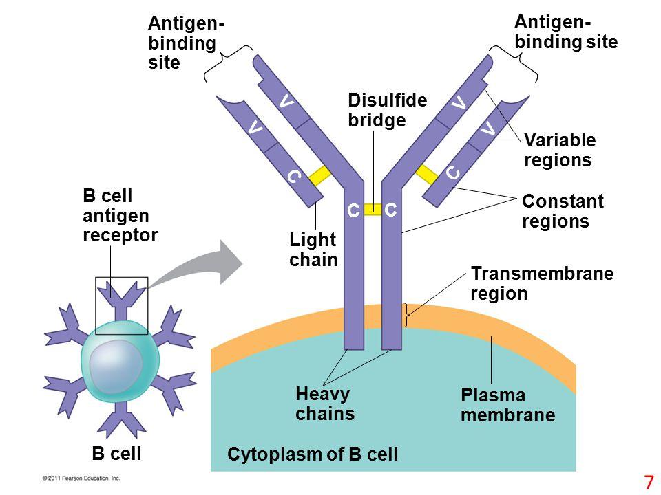 Cytoplasm of B cell Antigen- binding site B cell antigen receptor B cell Light chain Disulfide bridge Antigen- binding site Variable regions Constant regions Transmembrane region Heavy chains Plasma membrane C C C C V V V V 7