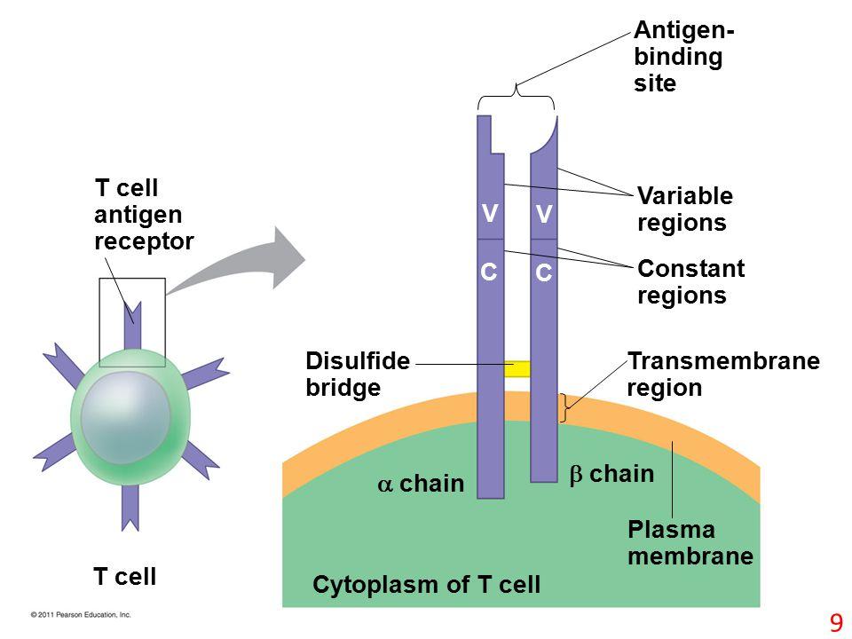 T cell antigen receptor T cell Cytoplasm of T cell Plasma membrane  chain  chain Disulfide bridge Antigen- binding site Variable regions Constant regions Transmembrane region V V C C 9