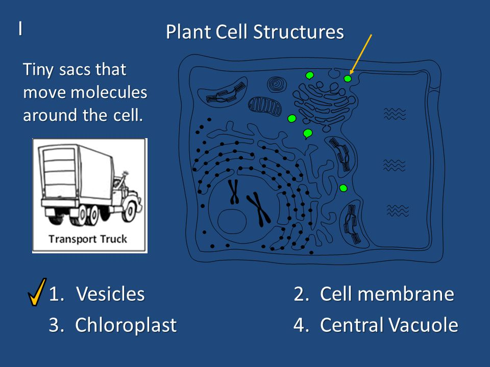 Plant Cell Structures 1.Vesicles2. Cell membrane 3.
