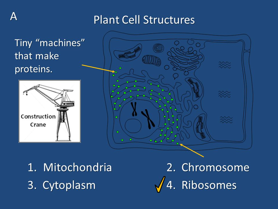 Plant Cell Structures 1.Mitochondria2. Chromosome 3.