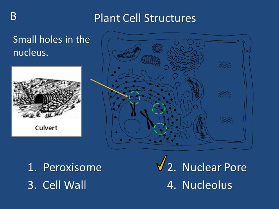 Plant Cell Structure M.What main function can plant cells do that animal cells can not do.