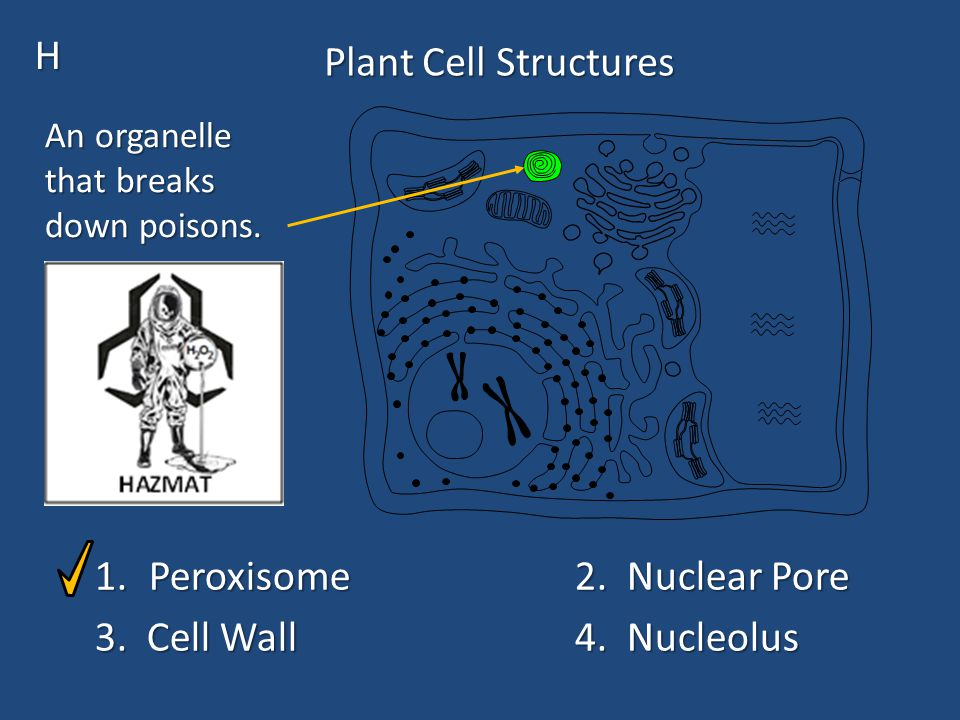 Plant Cell Structures 1.Peroxisome2. Nuclear Pore 3.