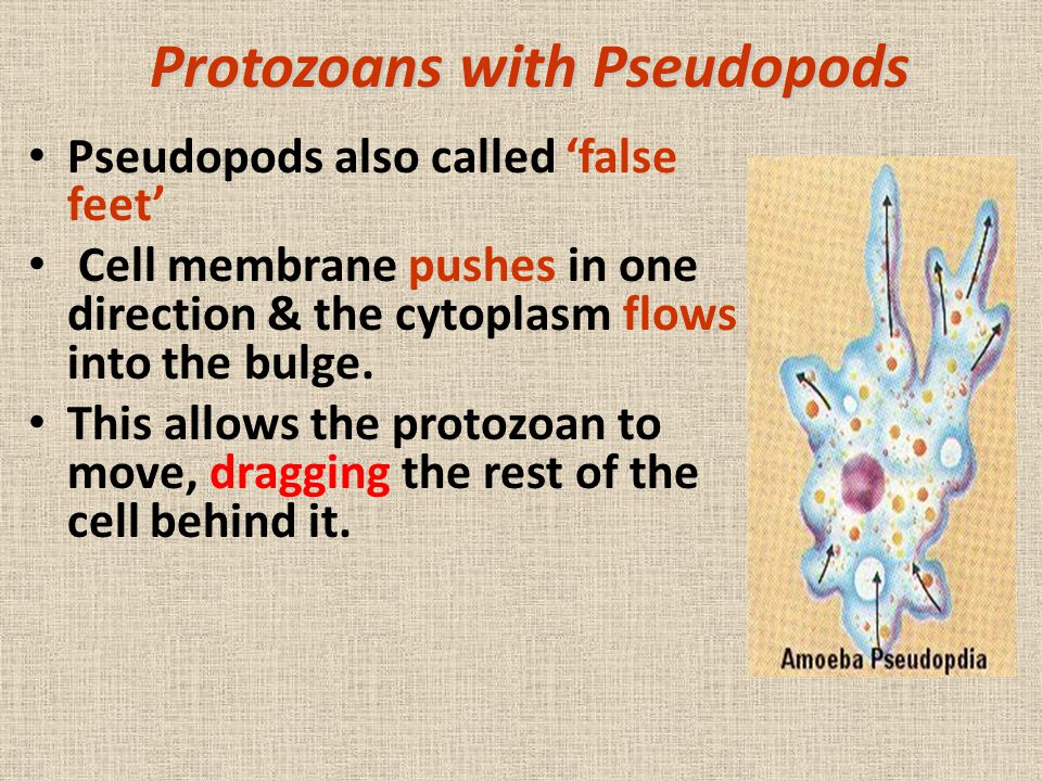 Protozoans with Pseudopods Pseudopods also called 'false feet' Cell membrane pushes in one direction & the cytoplasm flows into the bulge. This allows