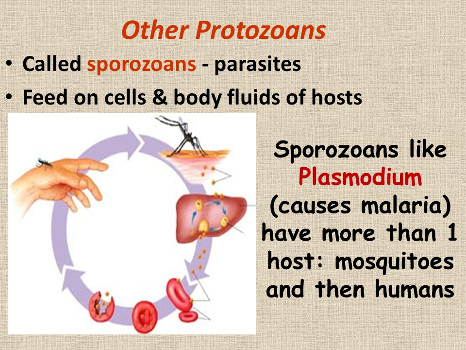 Other Protozoans Called sporozoans - parasites Feed on cells & body fluids of hosts Sporozoans like Plasmodium (causes malaria) have more than 1 host: