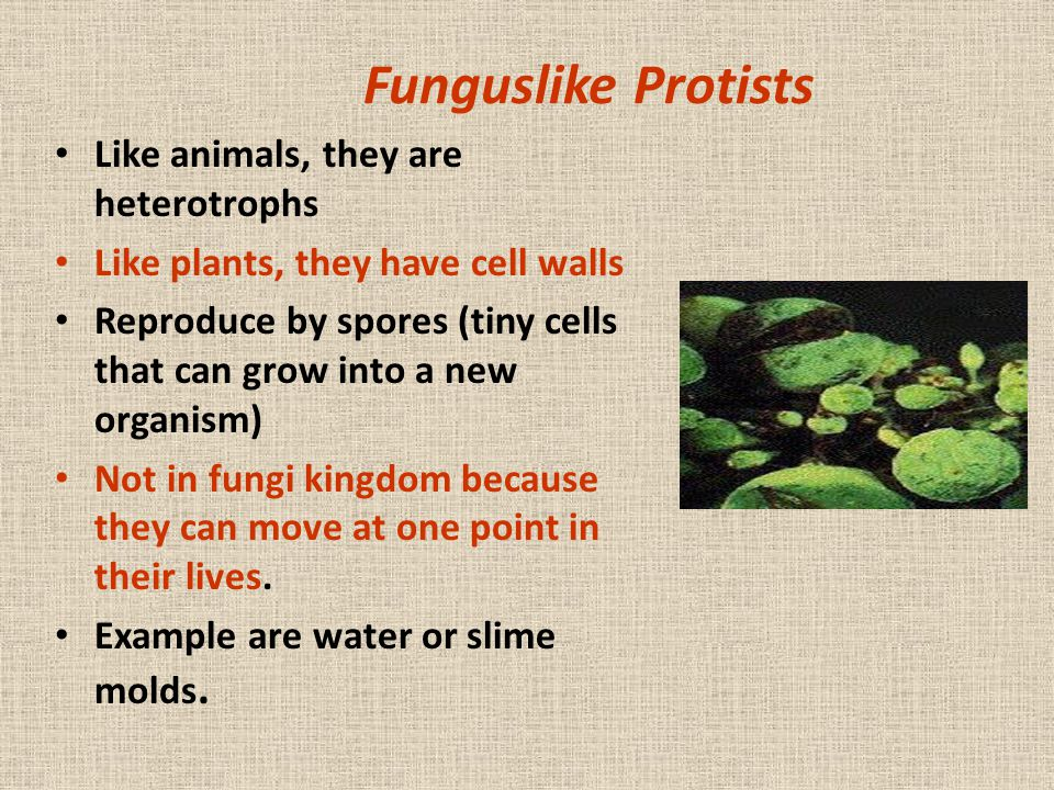 Funguslike Protists Like animals, they are heterotrophs Like plants, they have cell walls Reproduce by spores (tiny cells that can grow into a new org