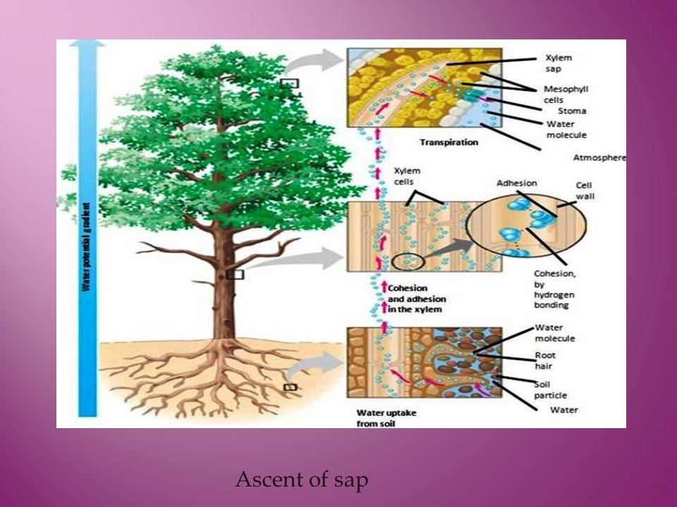 Ascent of sap