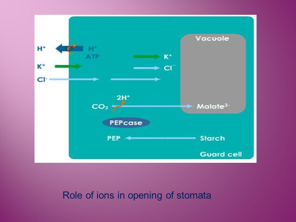 Role of ions in opening of stomata