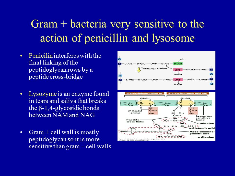 Gram + bacteria very sensitive to the action of penicillin and lysosome Penicilin interferes with the final linking of the peptidoglycan rows by a pep