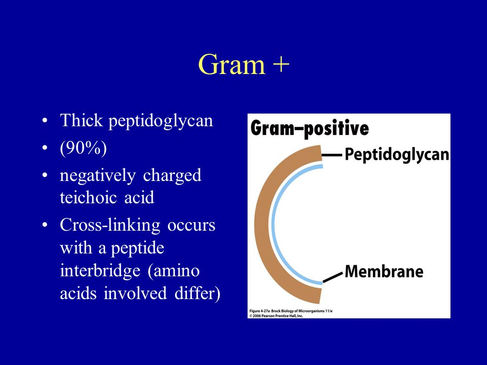 Gram + Thick peptidoglycan (90%) negatively charged teichoic acid Cross-linking occurs with a peptide interbridge (amino acids involved differ)