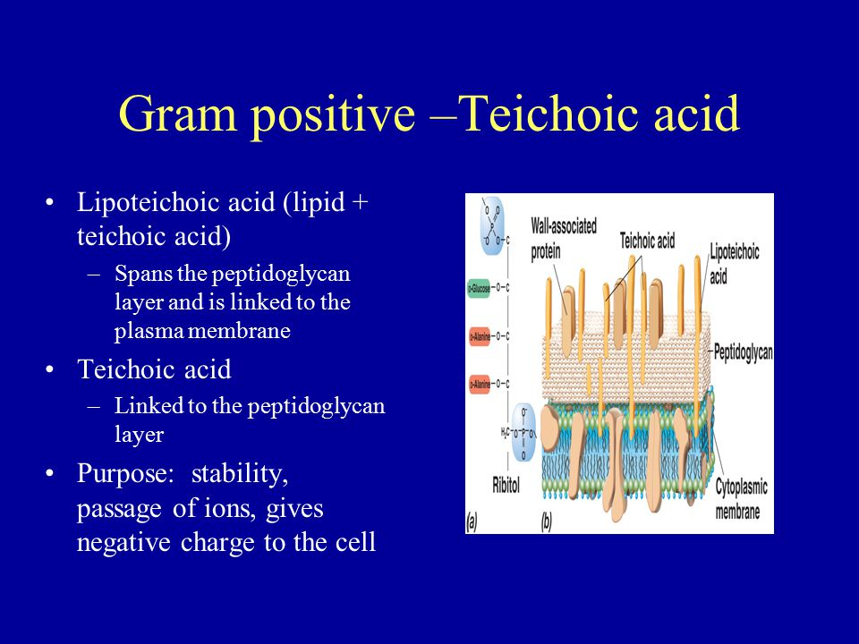 Gram positive –Teichoic acid Lipoteichoic acid (lipid + teichoic acid) –Spans the peptidoglycan layer and is linked to the plasma membrane Teichoic ac
